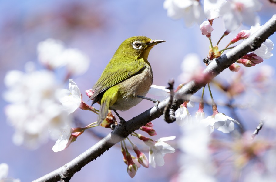 Japanese white-eye at Tennōji Park in Osaka, March 2016