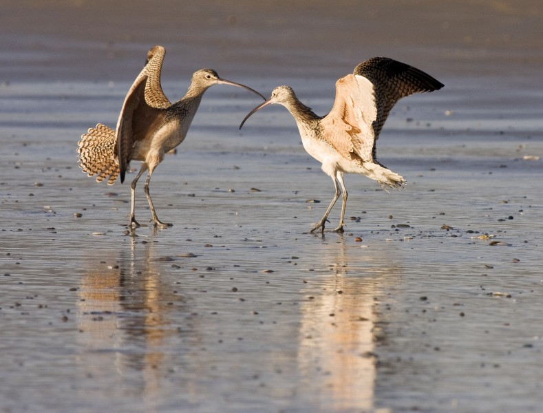 Long-billed Curlews courting