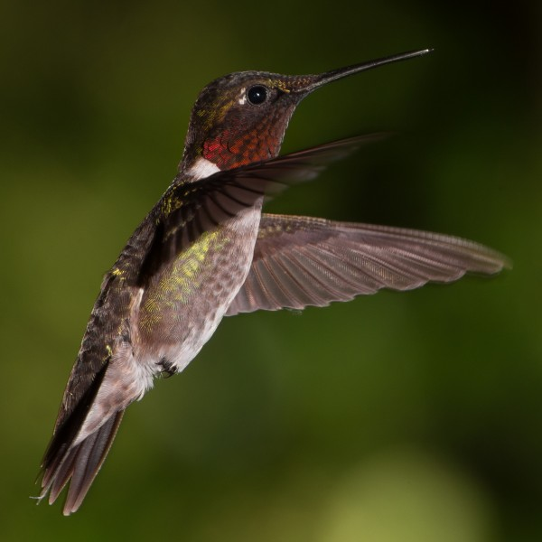 Male Ruby-Throated Hummingbird Hovering