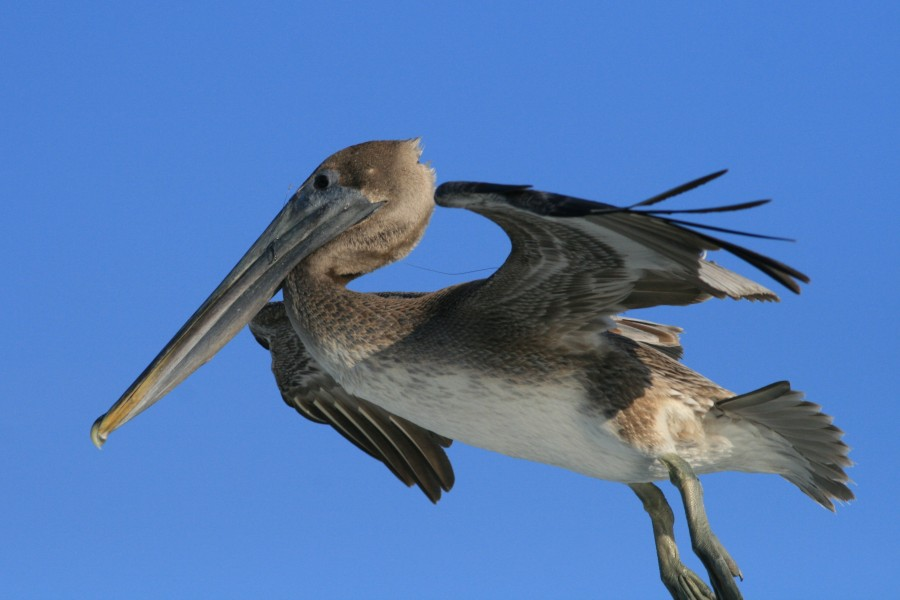 Pelecanus occidentalis and fishing hook 2