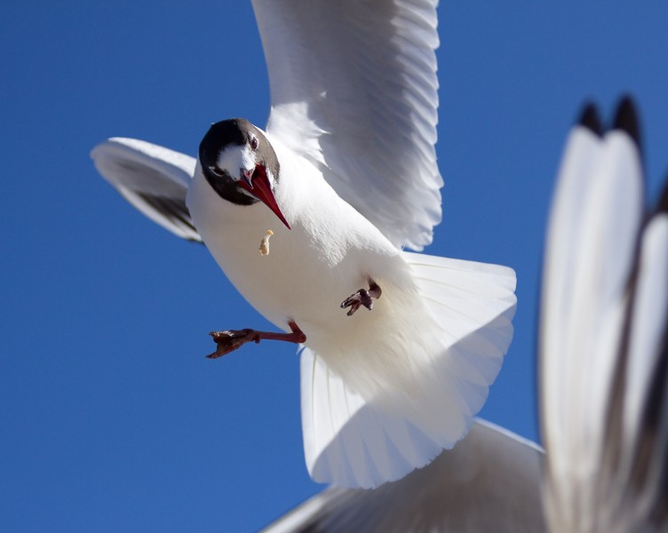 a black-headed gull