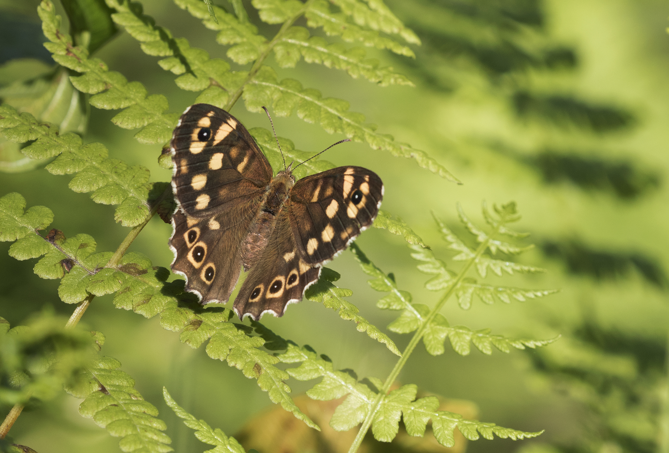 Butterfly Speckled Wood - Pararge aegeria 02