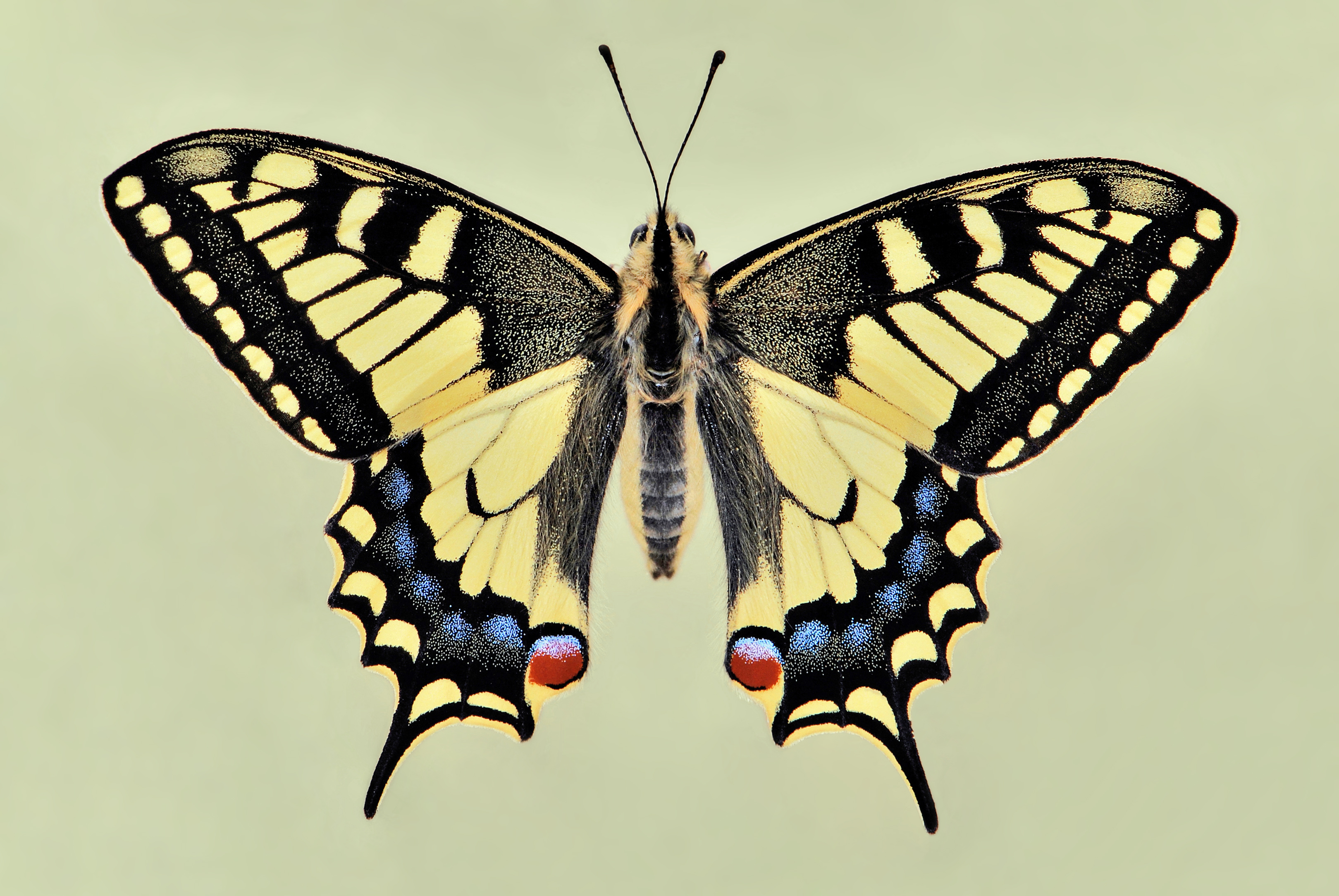 Papilio machaon 01 04102009