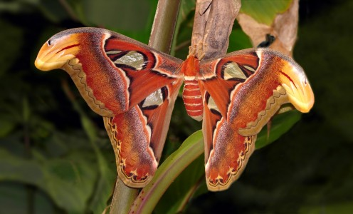 the Atlas moth (Attacus atlas)