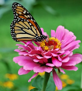 Monarch Butterfly Pink Zinnia 1800px edit
