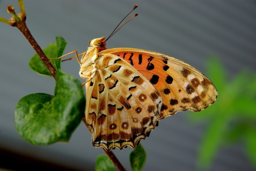 A argynnis butterfly in front of my house