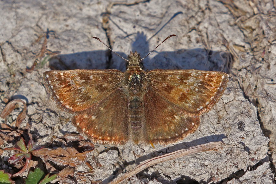 Dingy skipper (Erynnis tages) male