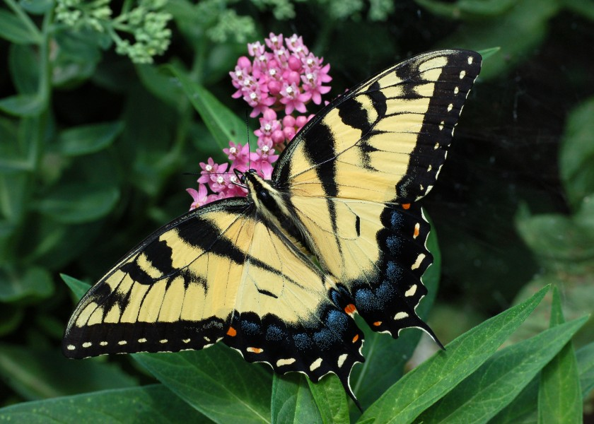 Eastern Tiger Swallowtail Papilio glaucus on Milkweed 2800px