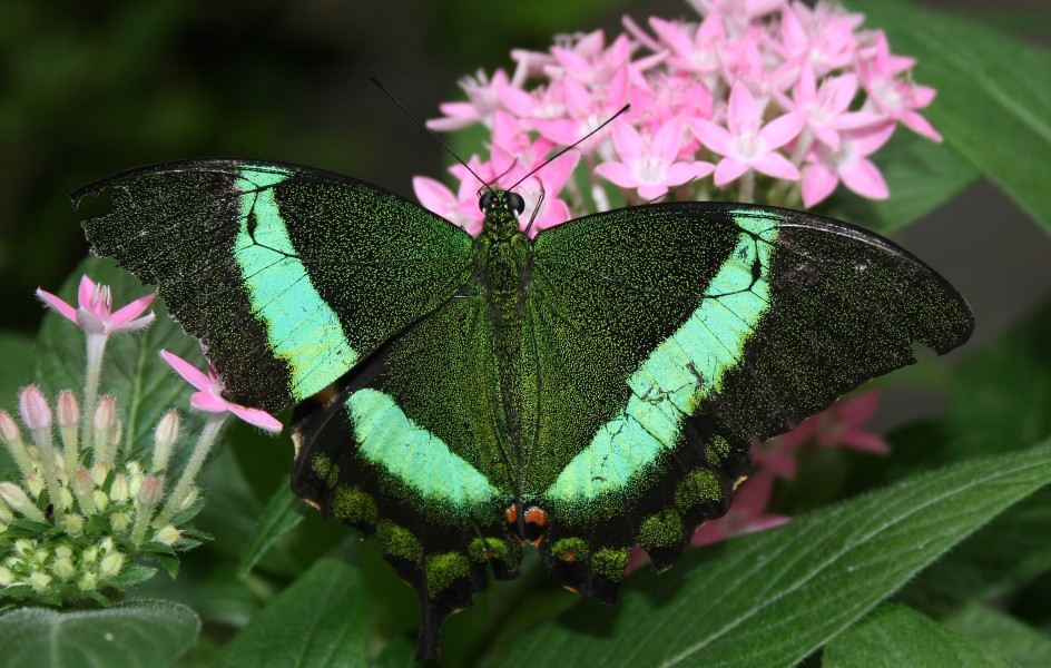Green Swallotail (Papilio blumei) - Relic38