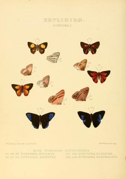 Illustrations of new species of exotic butterflies Eurygona X