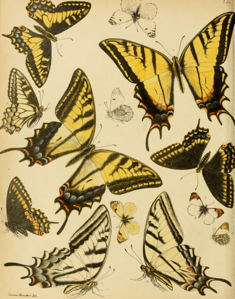 Lepidoptera, rhopaloceres and heteroceres, indigenous and exotic; with descriptions and colored illustrations (1872) (14590732839)