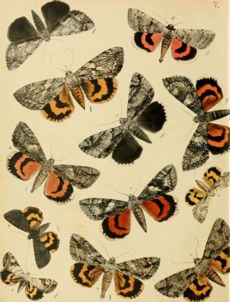 Lepidoptera, rhopaloceres and heteroceres, indigenous and exotic; with descriptions and colored illustrations (1872) (14590759398)