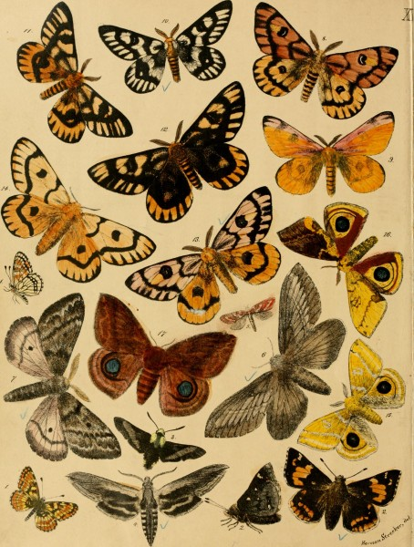 Lepidoptera, rhopaloceres and heteroceres, indigenous and exotic; with descriptions and colored illustrations (1872) (14775069774)