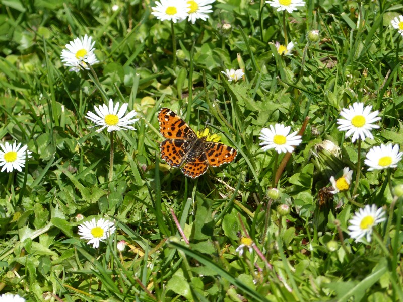 Liver-Hued Butterfly on Asters 2