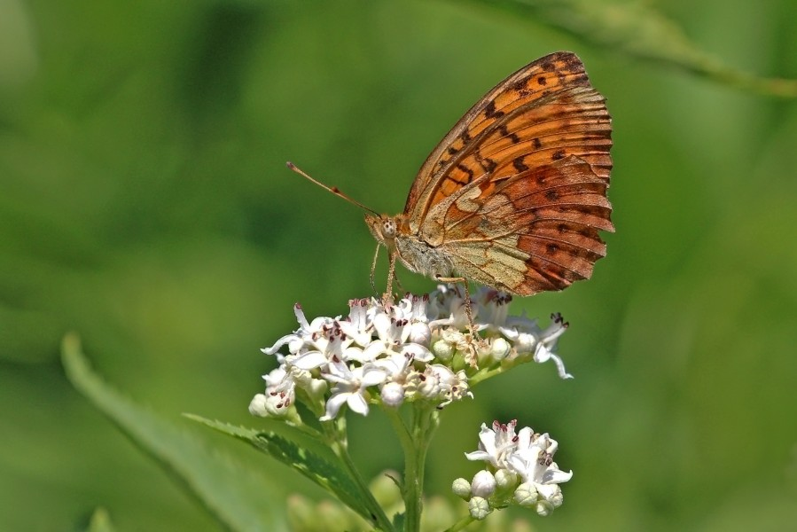 Marbled fritillary (Brenthis daphne) underside Macedonia