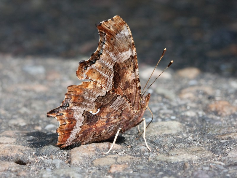 Polygonia comma Kaldari 01
