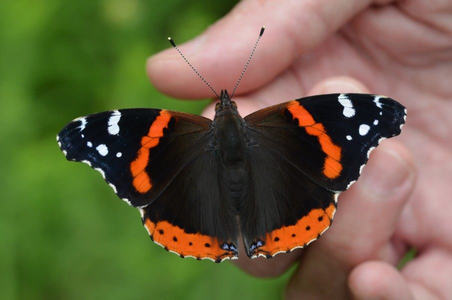 Red Admiral (14385568302)