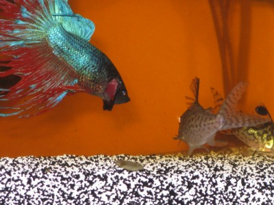 Betta Splendins with Corydoras