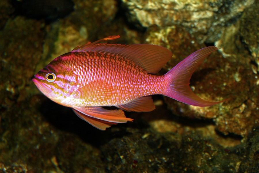 Anthias anthias 01