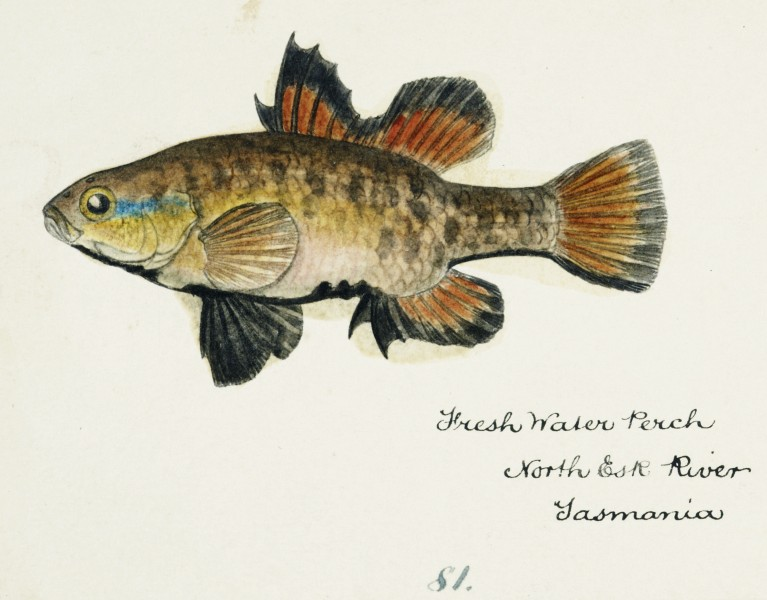 Southern Pacific fishes illustrations by F.E. Clarke 48