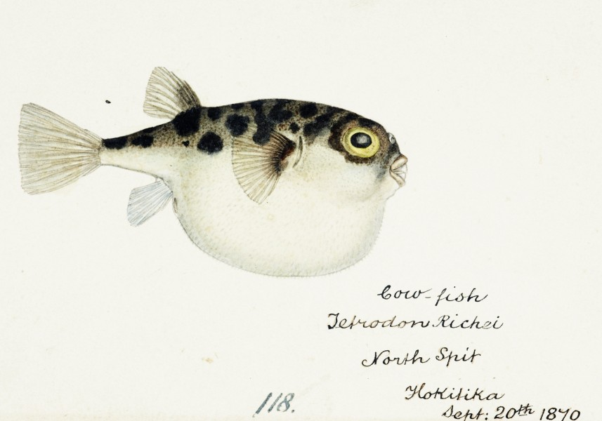 Southern Pacific fishes illustrations by F.E. Clarke 57