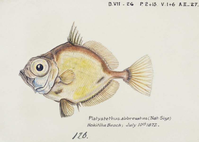 Southern Pacific fishes illustrations by F.E. Clarke 65