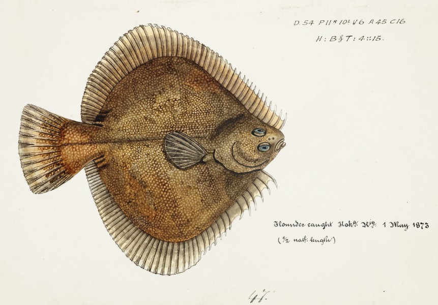 Southern Pacific fishes illustrations by F.E. Clarke 70