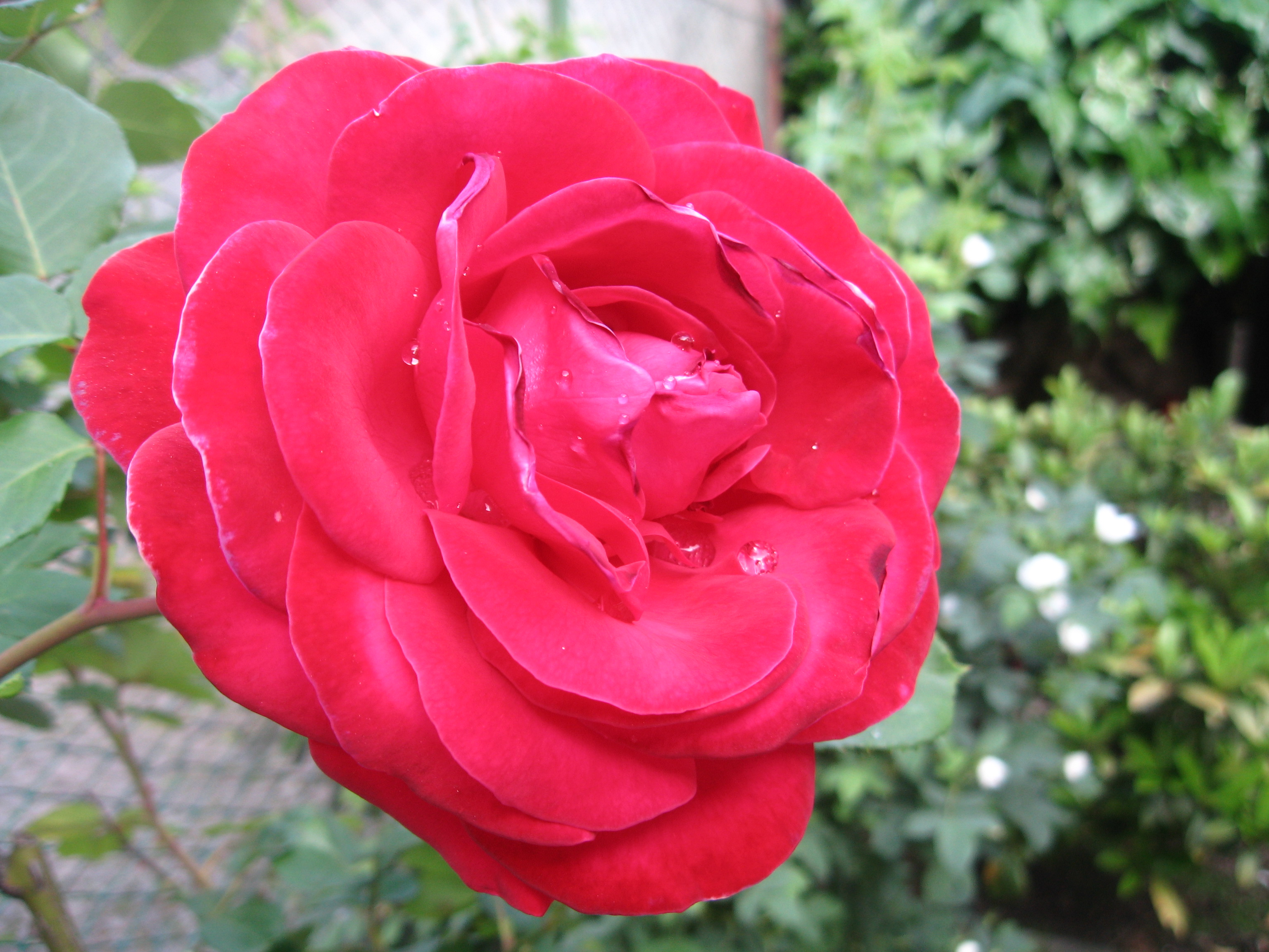 A red rose with dewdrops 1