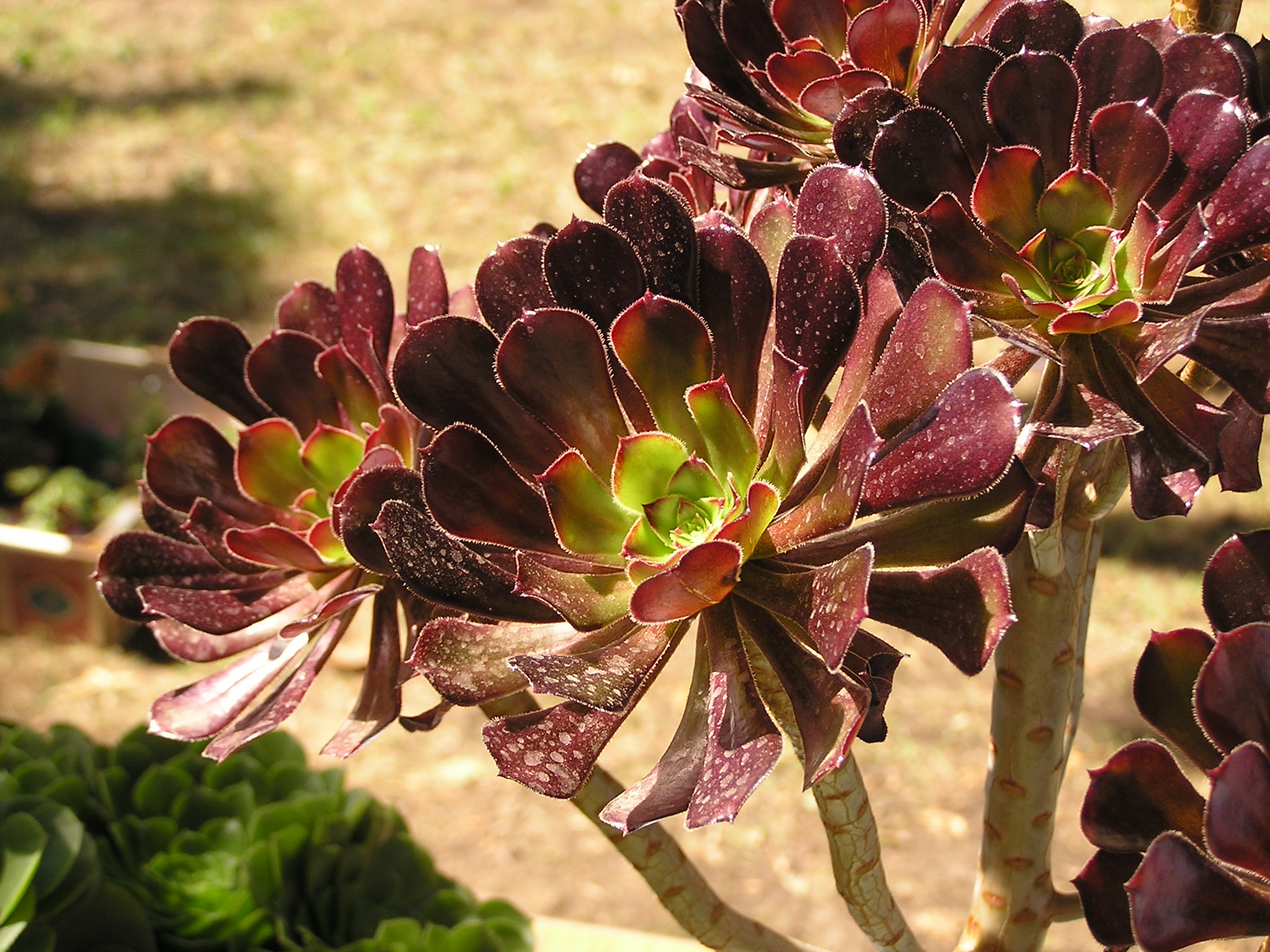 Aeonium arboreum on flowers exibition