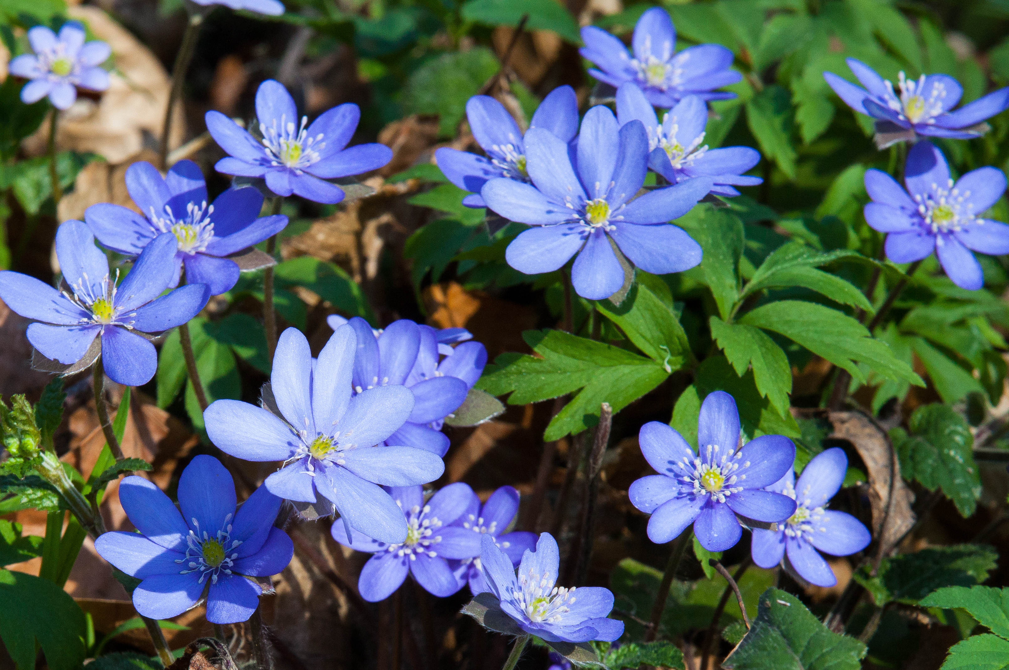 blue flowers in a forest in Lviv region of Ukraine in March 2014, picture 1/2