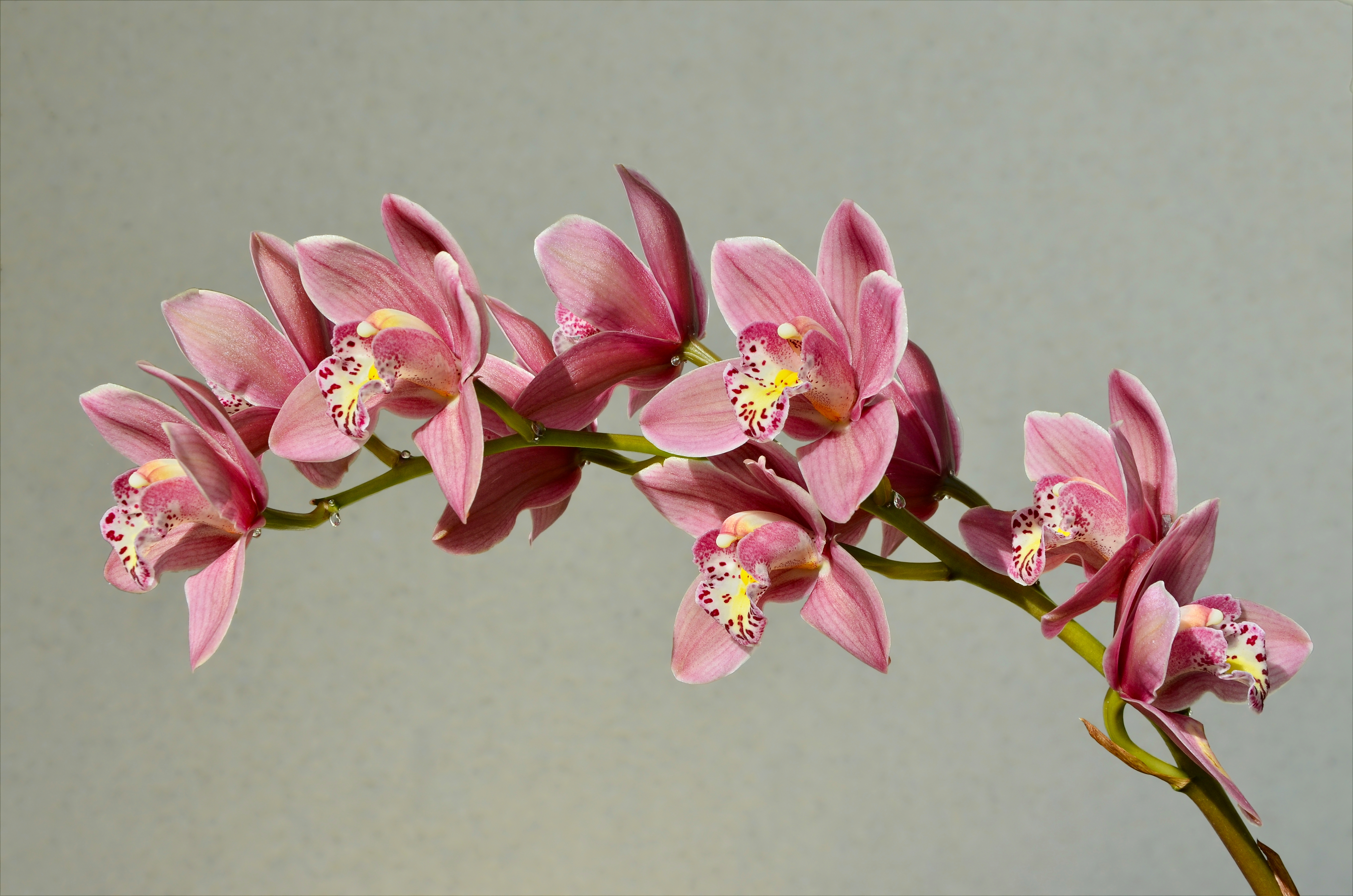 Cymbidium rose inflorescence FR 2014