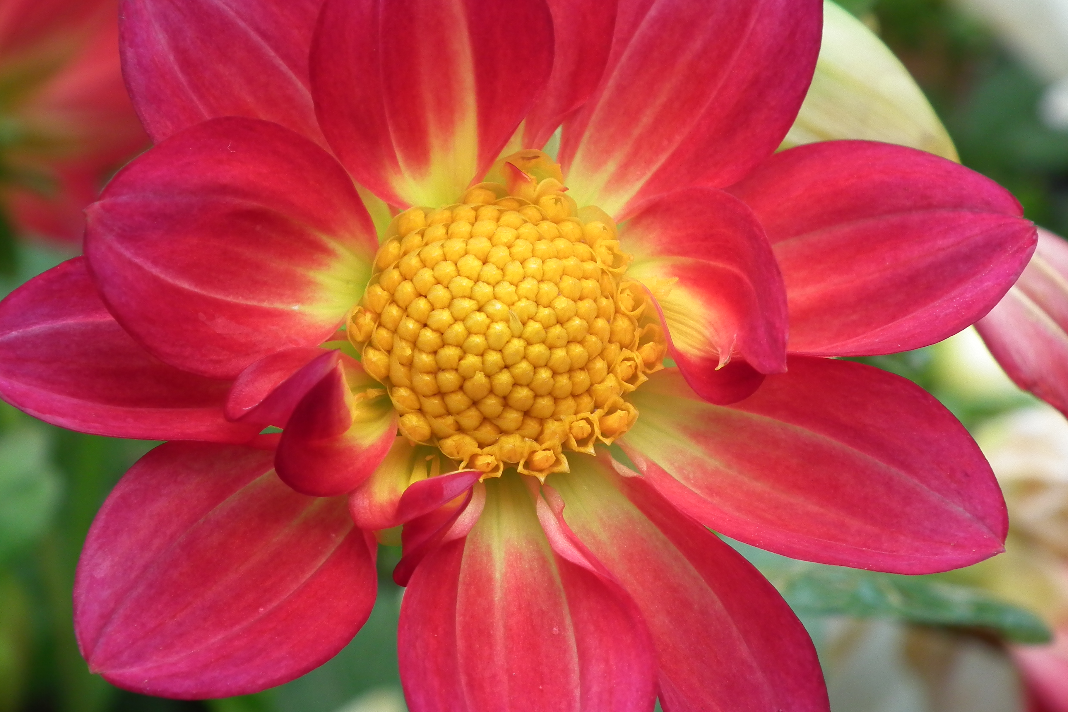 Dahlia at lalbagh flower show 7186