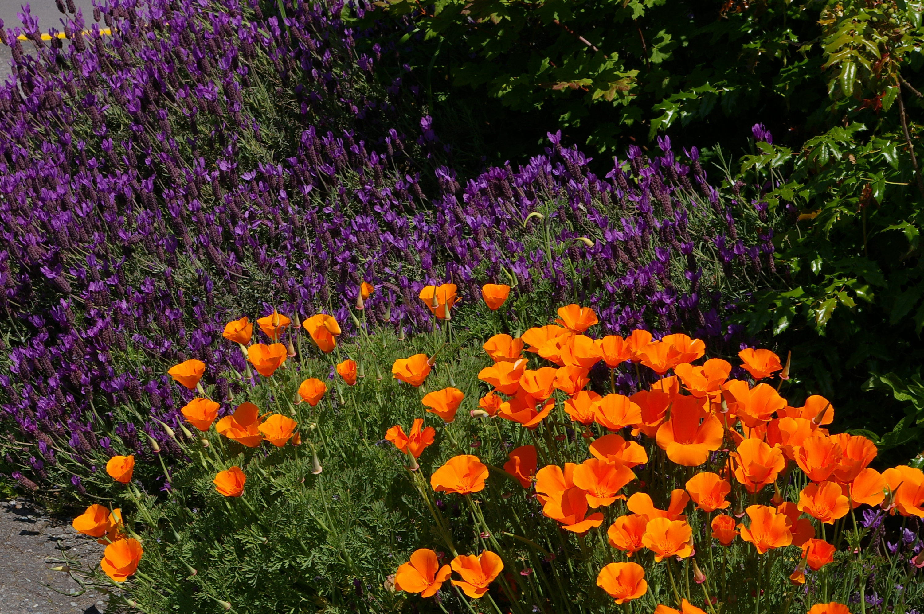 Friday Harbor Lavender and California Poppies