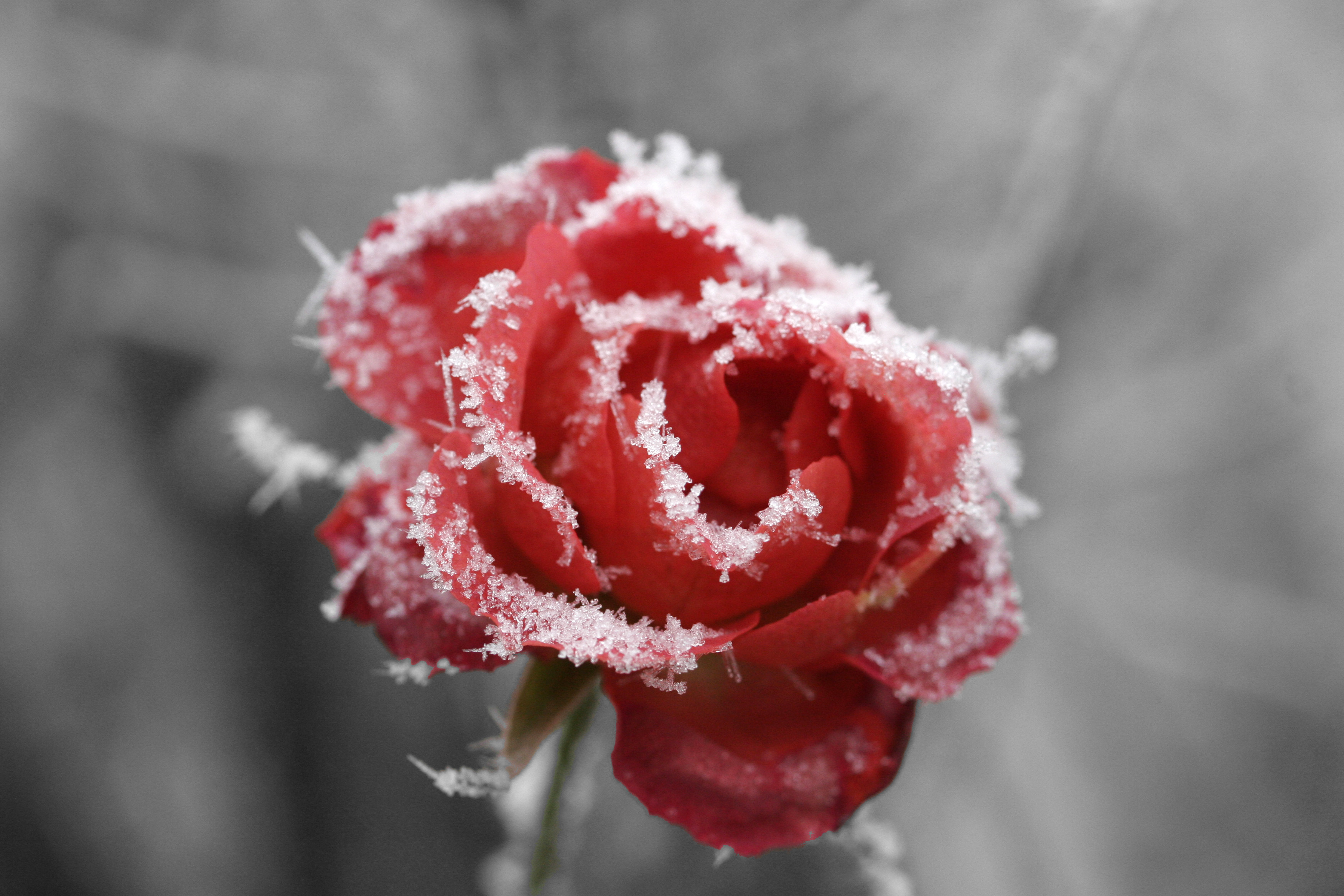 Frosted rose 01