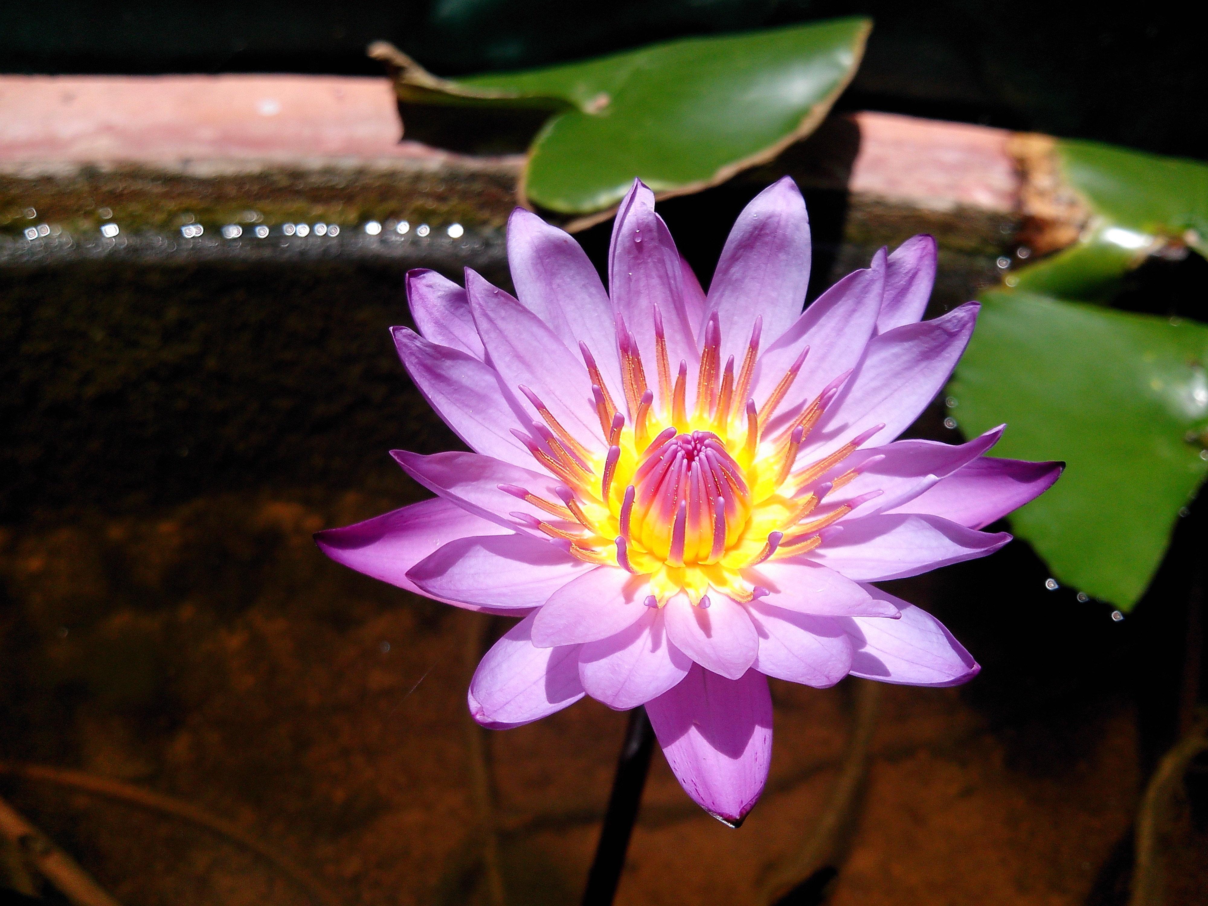 Giant Water Lily sprouting a flower