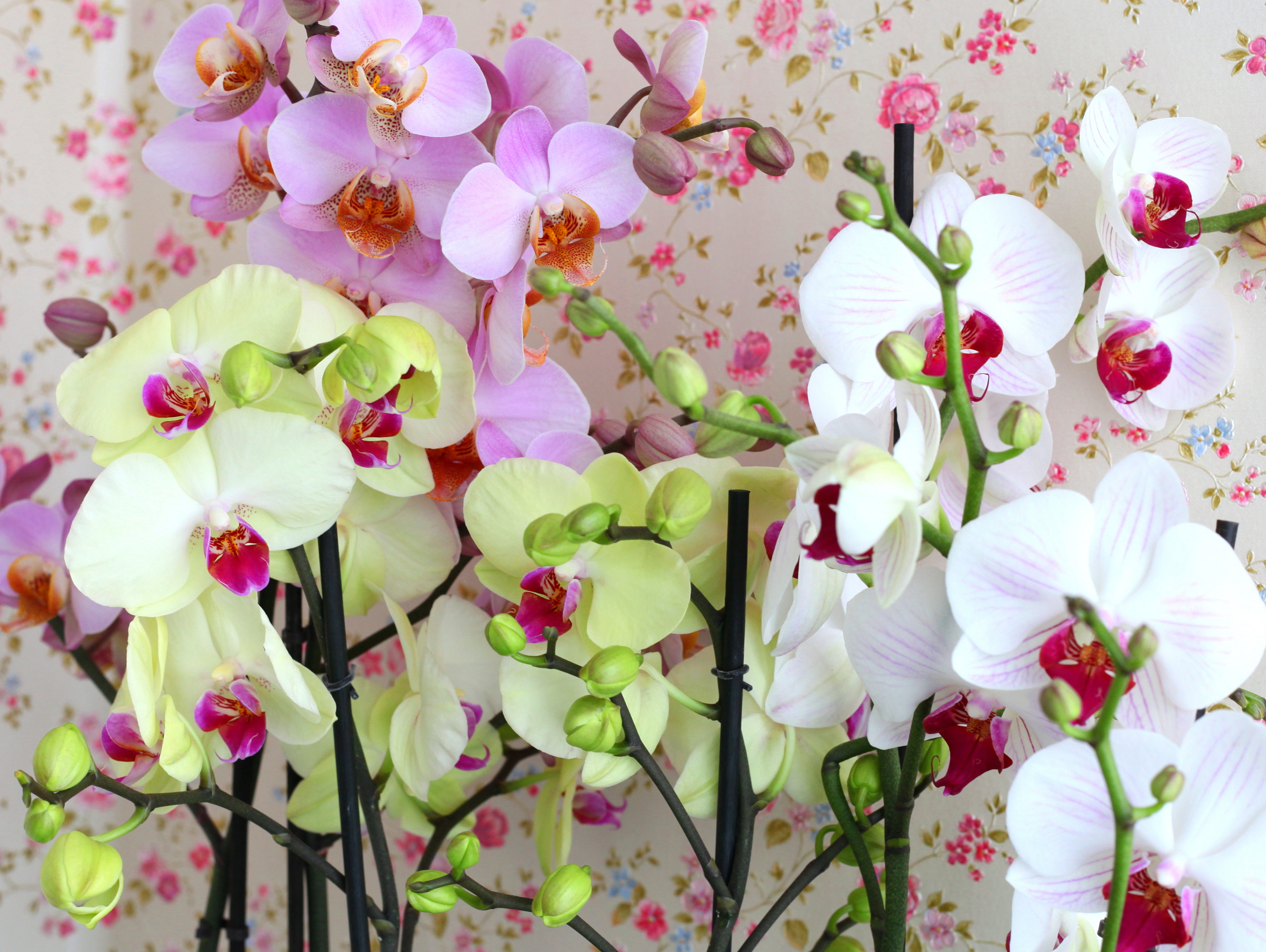 pink, yellow and white orchids, photo 2