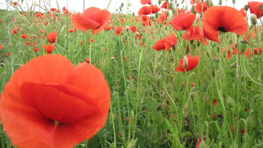Red poppy flowers blossoming on a meadow, picture 2