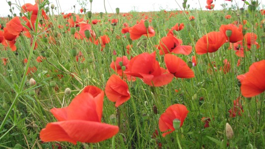 Red poppy flowers blossoming on a meadow, picture 3