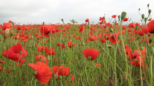 Red poppy flowers blossoming on a meadow, picture 5
