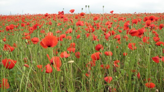 Red poppy flowers blossoming on a meadow, picture 6