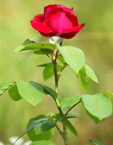 a young red rose photographed in July 2013, picture 2/2