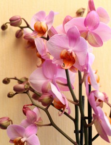 pink orchids, photo 2