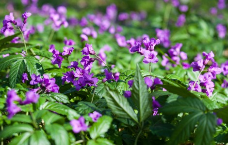purple flowers in a forest in Lviv region of Ukraine in March 2014, picture 1/4