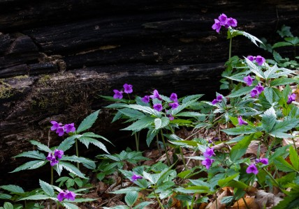purple flowers in a forest in Lviv region of Ukraine in March 2014, picture 4/4