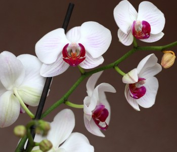 beautiful flowers created by God: white orchids, photo 2