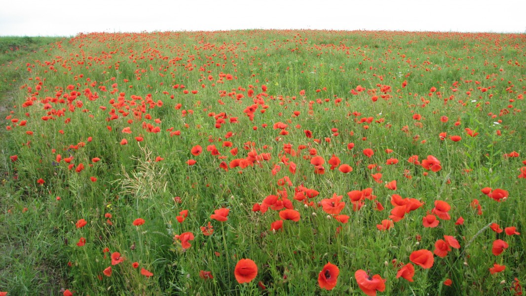 Red poppy flowers blossoming on a meadow, picture 1