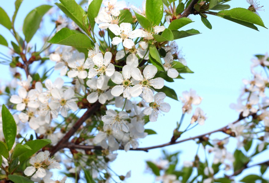 a branch of a blossomming tree in May 2013