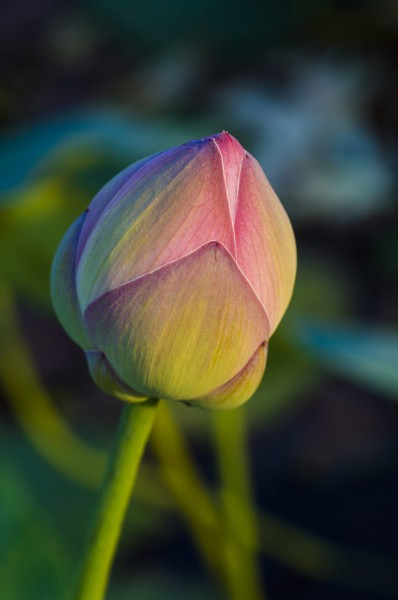 A lotus bud shot on a winter late noon