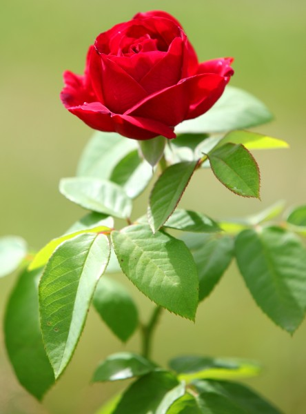 a young red rose photographed in July 2013, picture 1/2