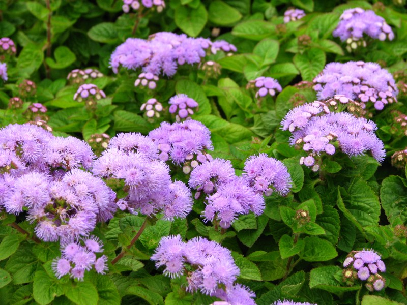 Ageratum houstonianum (in a flowerbed) 01